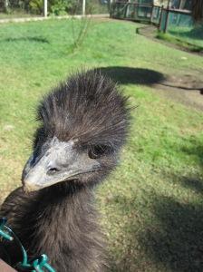 Emo emu